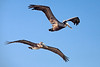 Brown Pelicans Pair