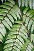 Detail of Fern Branches, Dominican Rainforest, Dominica, West Indies
