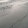 Turtle crawling the beach in Dominica