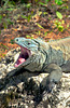 An iguana yawning on the Cayman Islands, Caribbean.