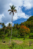 A cow grazing in a mountain pasture with tropical vegetation in rural St. Lucia, Caribbean, West Indies.