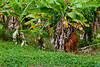 A cow in a banana plantation in rural St. Lucia, Caribbean, West Indies.