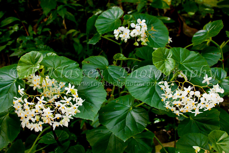 A cluster of  Green Leaf White Begonia flowers in the forests of rural St. Lucia, Caribbean, West Indies.
