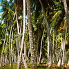 Coconut plantation at Columbus Bay, Cedros