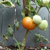 ripe tomate july 4th 2014 (1)
