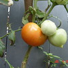 ripe tomate july 4th 2014 (2)
