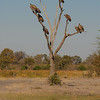 White-backed Vultures, Gyps africanus. Kwai River, Botswana.