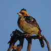 Crested Barbet, Trachyphonus vaillantii. Pilansberg, South Africa.