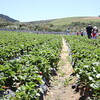 Strawberry picking in Stellenbosch, Western Cape, South Africa