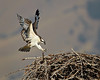 A fledgling osprey (Pandion haliaetus) arrives at the nest along the Salmon River, Salmon, Idaho, USA.
