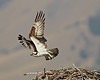 A fledgling osprey (Pandion haliaetus) takes off from the nest along the Salmon River, Salmon, Idaho, USA.