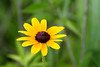 2014 06 081 IMG_3383 Black-eyed Susan