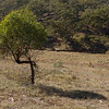 One tree, near Burra Creek