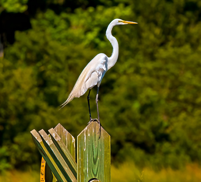 """Lookout Post"" Great Egret Donnelley Wildlife Management Area Green Pond, SC"
