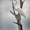 """Verticality"" Great Egret Donnelley Wildlife Management Area Green Pond, SC"