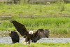 Swooping in for scraps. This Bald Eagle is coming to check out what's left of the salmon that was eaten by a grizzly and her cub.