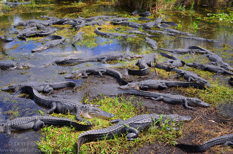 It's suntan central here in the Florida Everglades.  American Alligator (<i>Alligator mississippiensis</i>)