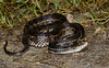 Atlantic salt marsh snake (Nerodia clarkii taeniata) Range restricted and federally threatened