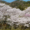 The sakura in bloom at Shojiji. The lone hiker in red gives some idea of the size of the trees.