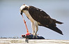 Pulling at his Food - Osprey eating a fish in Cedar Key Florida - Photo by Pat Bonish