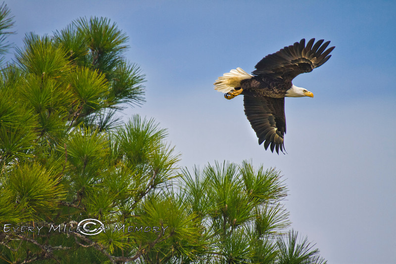 Soaring Eagle - Atsena Otie Key - Photo by Pat Bonish