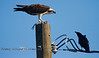 The Stare Down - Osprey against Crow - Cedar Key Florida - Photo by Pat Bonish