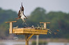 Building the Nest - Osprey Nesting Box behind the Low-Key Hideaway - Cedar Key Florida - Photo by Pat Bonish