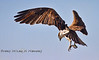 Attack - Osprey coming in for a Landing in Cedar Key Florida - Photo by Pat Bonish