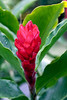 Red Flowering Bromeliad, Costa Rica