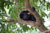 Mantled Howler Monkey (Alouatta palliata), Costa Rica