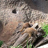 Baby meerkats playing
