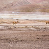 Vicuñas among the Geyzers