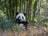 Giant panda eating a bamboo shoot, Bifeng Xia, Sichuan, China