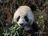 "Bamboo for dinner AGAIN!<br /> <br /> Giant panda close-up eating bamboo leaves, Bifeng Xia, Sichuan, China<br /> <br /> The remainder of the giant panda shots, and the last of the pics from China, can be seen here: <a href=""http://goo.gl/Ai0IOL"">http://goo.gl/Ai0IOL</a><br /> <br /> 23/07/14  <a href=""http://www.allenfotowild.com"">http://www.allenfotowild.com</a>"