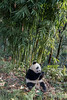 Panda eating beside a stand of bamboo, Bifeng Xia, Sichuan, China