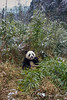 Panda in a bamboo patch, Bifeng Xia, Sichuan, China
