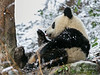Young panda licking its paw in the snow, Bifeng Xia, Sichuan, China