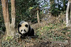 Young panda by a tree, Bifeng Xia, Sichuan, China