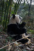 Panda with open mouth, Bifeng Xia, Sichuan, China