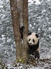 Young panda grabbing tree trunk in the snow, Bifeng Xia, Sichuan, China