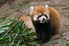 Red panda munching bamboo leaves, Panda Research Base, Chengdu, China