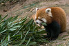 Red panda with a mouthful of bamboo, Panda Research Base, Chengdu, China