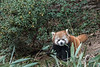 Red panda holding a stalk of bamboo, Panda Research Base, Chengdu, China