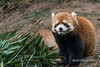"Red panda eating bamboo leaves, Panda Research Base, Chengdu, China<br /> <br /> The red panda  is not closely related to the giant panda; it is the only living species of the genus Ailurus (Ailurus fulgens), also called the lesser panda and the red cat-bear.<br /> Due to habitat loss and poaching, it is classified as 'vulnerable' by the International Union for the Conservation of Nature (IUCN), with a wild population of less than 10,000.  It is slightly larger than a house cat and feeds mainly on bamboo, but, unlike the Giant panda, it is omnivorous and also eats a variety of other foods (it seems to be very fond of fruit, e.g., apples)<br /> <br /> They're pretty cute - other photos of red pandas can be seen here: <a href=""http://goo.gl/Ybx7oB"">http://goo.gl/Ybx7oB</a><br /> <br /> 20/05/14  <a href=""http://www.allenfotowild.com"">http://www.allenfotowild.com</a>"