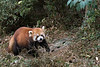 Red panda taking a walk,  Panda Research Base, Chengdu, China