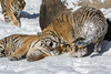 Affectionate Siberian tiger rubbing on its sibling like a cat, Hengdaohezi Breeding Center, Mudanjiang, China