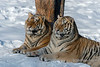 Pair of Siberian tigers soaking up the late day sun  Shot yesterday near Hailin, northern China.  The beautiful Siberian tiger is an endangered species.   13/1/14  www.allenfotowild.com