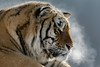 Siberian tiger breath in the frigid cold<br /> <br /> Mudanjiang area, Heilongjiang, China