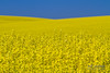 Bright Yellow Field of Canola Blooming in Nezperce, Idaho.