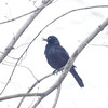 Common Grackle, Central Park